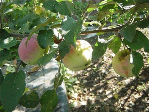 Яблоня: сорта и агротехника. - Страница 6 4987af0d71dft