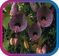 продам семена экзотических растений - Страница 3 1d248ffa0f78