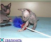 Донские сфинксы E8107379155dt