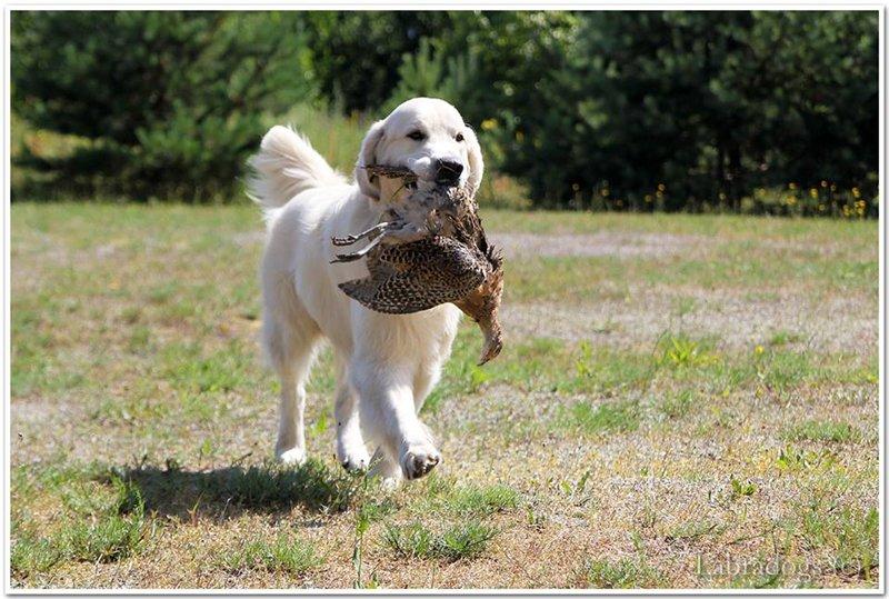 Retrīveru medību apmācības - Page 2 Db6339a23d71