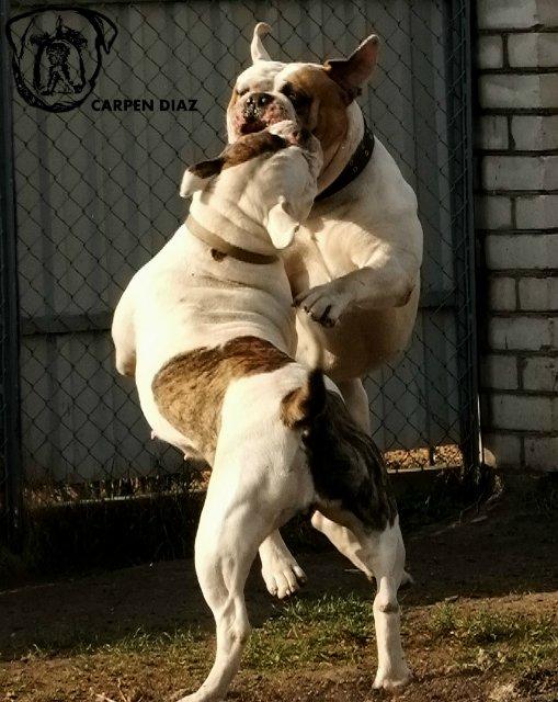 Собаки питомника Carpen Diaz - Страница 2 1915655a47f4