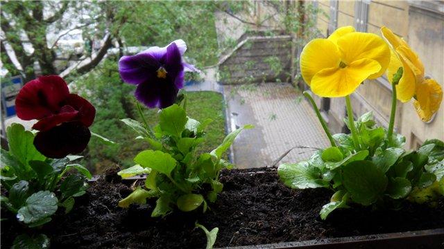 Виола, анютины глазки, фиалки садовые A033010ac53d