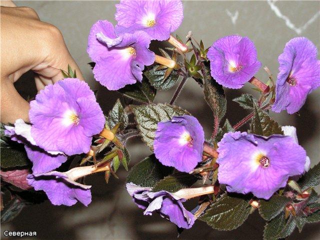Цветочки Северной - Страница 2 03acca5e19d6