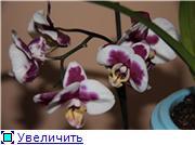 Фаленопсисы гибридные - Страница 2 3273ecc38179t