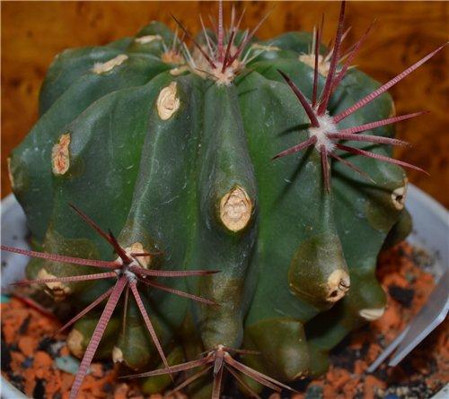 Болезни и вредители кактусов 71f62cd1d890
