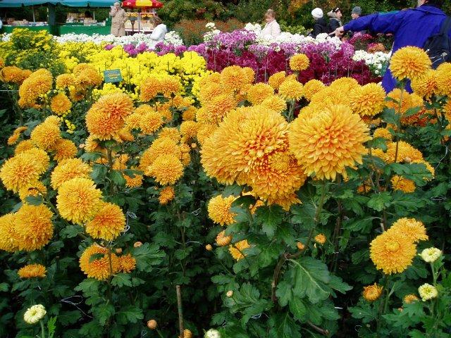 Парад хризантем в Никитском ботаническом саду. Крым  C2c212512f53