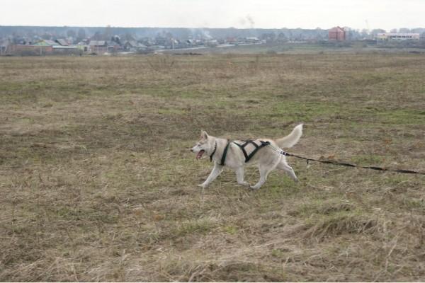 Ищем жениха!!! (Сибирский Хаски) Cab46b1b6f74