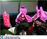 Фаленопсисы гибридные - Страница 3 74baf82518a2t