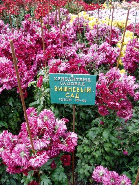 Парад хризантем в Никитском ботаническом саду. Крым  0e421bd7df73