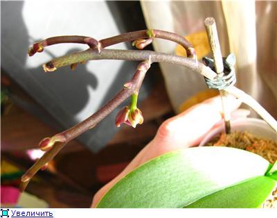 Странности и интересности наших орхидей 2f0f47d568eet