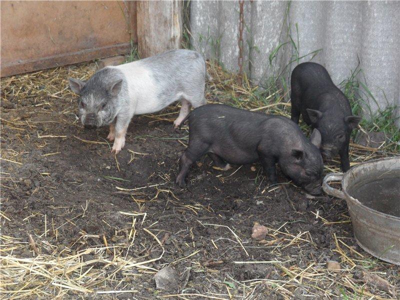 В'єтнамські вислобрюхие свині 9e51f8293170
