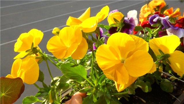 Виола, анютины глазки, фиалки садовые - Страница 2 0547b57a582a