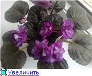 Продам цветущие фиалки в Алматы 1482b20b3be1t