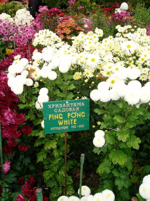 Парад хризантем в Никитском ботаническом саду. Крым  B83ad7f22447
