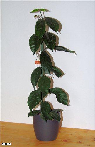 Hoya praetorii 370cdc20e515