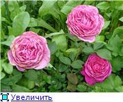 Розы 2011 Af088a658592t
