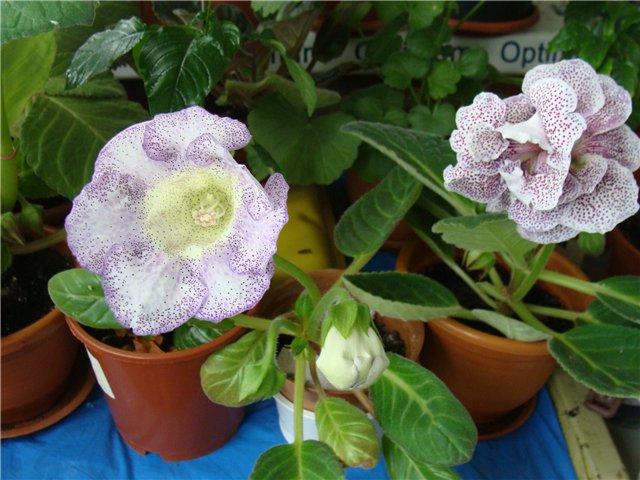 Весеннее  цветение (Хваст от Веры) - Страница 8 7309fa27b871