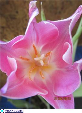 Выгонка луковичных. Тюльпаны, крокусы и др. - Страница 11 1f00d5de01aat