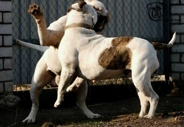 Собаки питомника Carpen Diaz - Страница 2 194ecfeaeee7