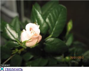 Розы в комнатной культуре - Страница 7 7ba32fd53cf6t