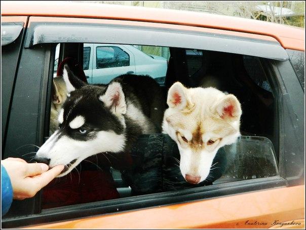 Siberian huskies in Russia. F129c8d18702