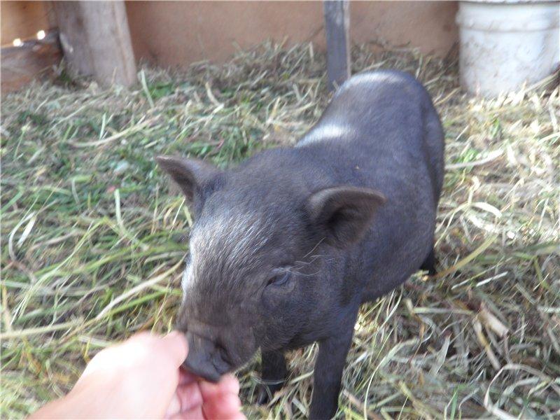 В'єтнамські вислобрюхие свині 866db579d3e7