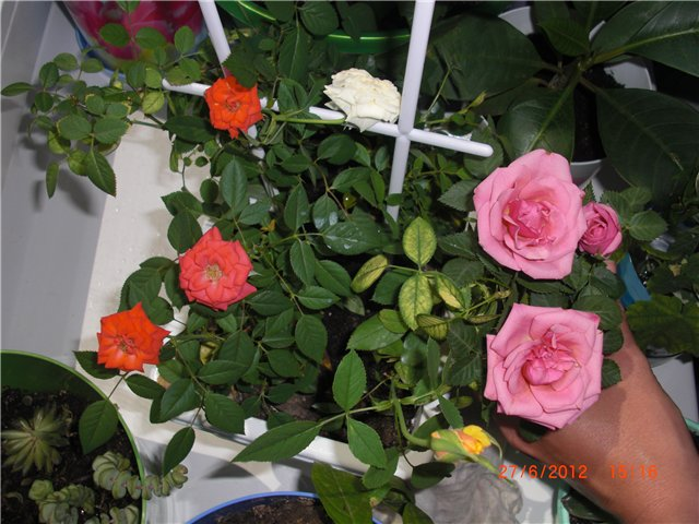 Розы в комнатной культуре - Страница 5 C912ebe941fd