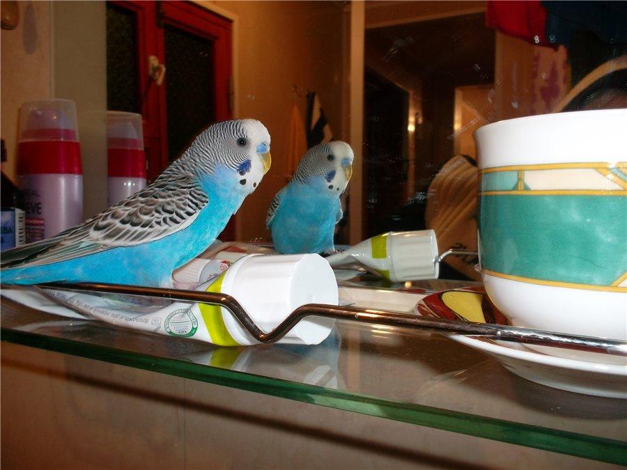 Наш красавчик попугай Кузя D84dad9b8533