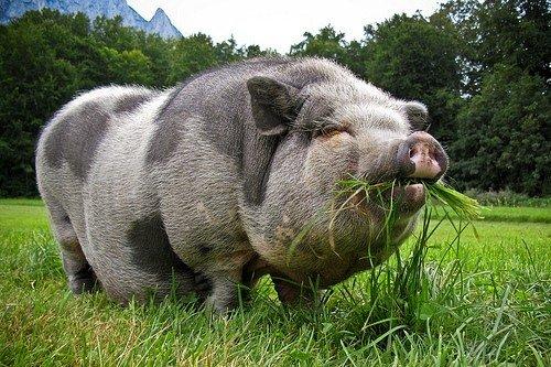 В'єтнамські вислобрюхие свині E15fac80a813