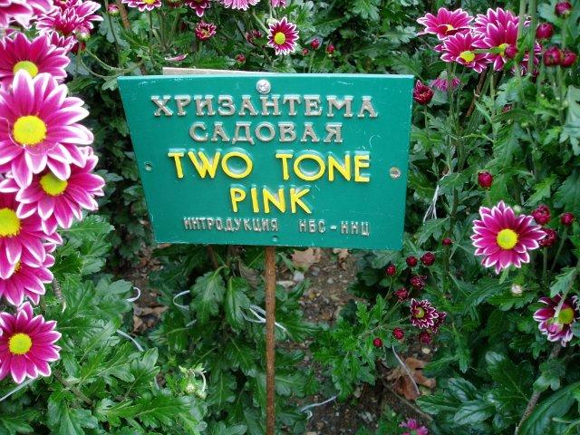 Парад хризантем в Никитском ботаническом саду. Крым  03ba5f26d0b7