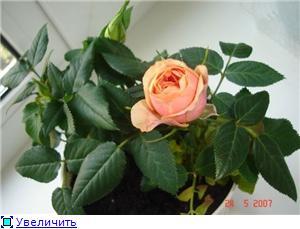 Розы в комнатной культуре Bb24903ec461t