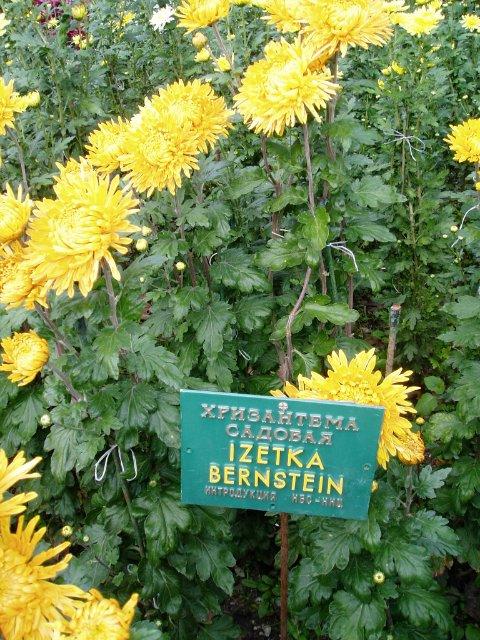 Парад хризантем в Никитском ботаническом саду. Крым  50d9b022071c