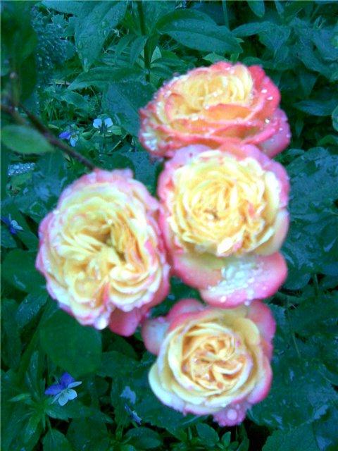 <K> Украсим розами любовь!  Фотовыставка. 11a9e0b6493e