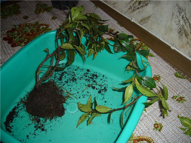 Растения из Сочинского питомника 73d9883a98da
