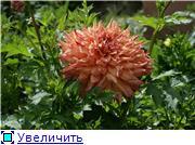 Георгины в цвету 07aad8937866t
