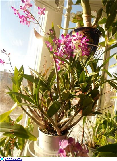 Помогите опознать орхидею! B7e54dc28947t