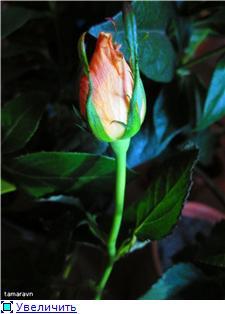 Розы в комнатной культуре - Страница 8 285c8d7d120et