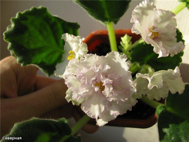 Цветочки Северной - Страница 5 A42671073ce4