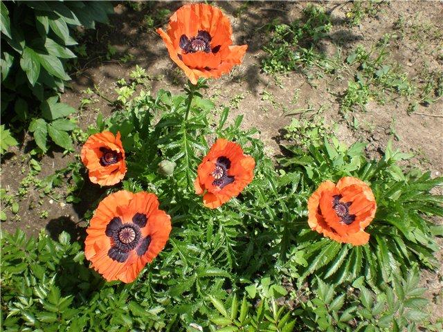 Многолетние растения - Страница 3 289a86b7a5ef