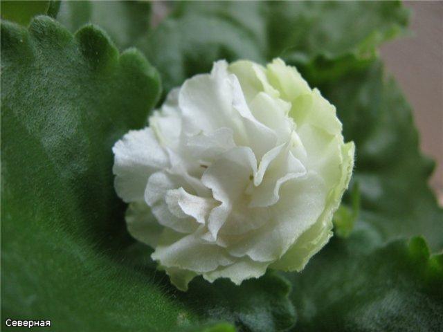 Spring Rose   (LLG) - Страница 2 4fbaca2f8c1a
