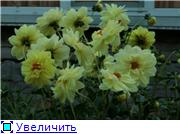Георгины в цвету 4b8298ecefbat