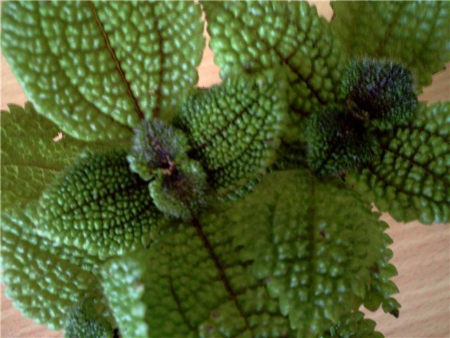 Как называется растение 75ee70d816ab
