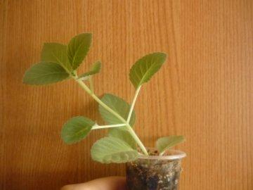 декоротивно-лиственные и красивоцветущие растения - Страница 3 990bec1eada7