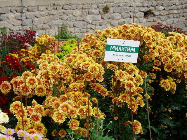 Парад хризантем в Никитском ботаническом саду. Крым  821b5ac28936