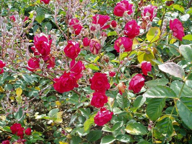 Парад хризантем в Никитском ботаническом саду. Крым  55bb60ad8644