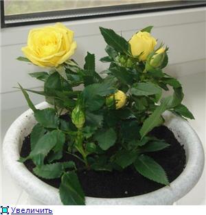 Розы в комнатной культуре B8c1b1479561t