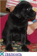 Шоколадные и черные щенки лабрадоров в  питомнике Луссо Анжело 7509df638529t