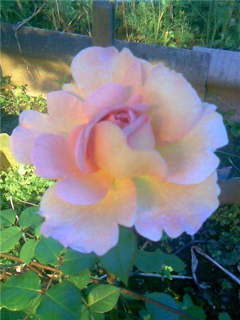 <K> Украсим розами любовь!  Фотовыставка. 0586b7574ada
