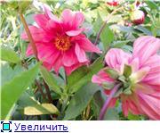 Георгины в цвету - Страница 2 76498cc0c963t