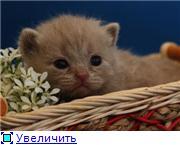 Британские котята. Окрас:  голубой, шоколадный биколор. C310c4de334at